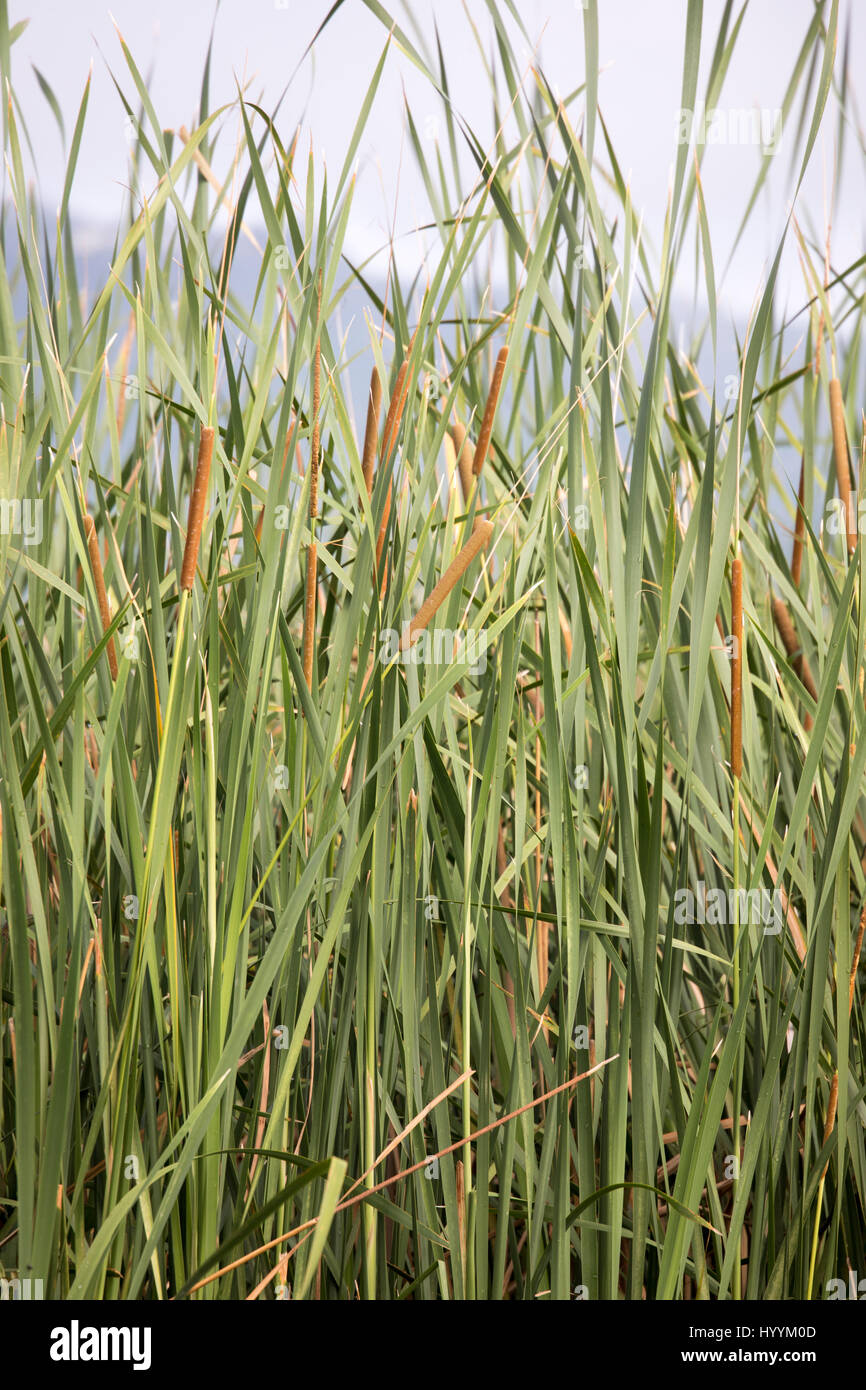 Cattails in reeds in wetlands of Lake Manyara National Park, Tanzania, Africa. - Stock Image