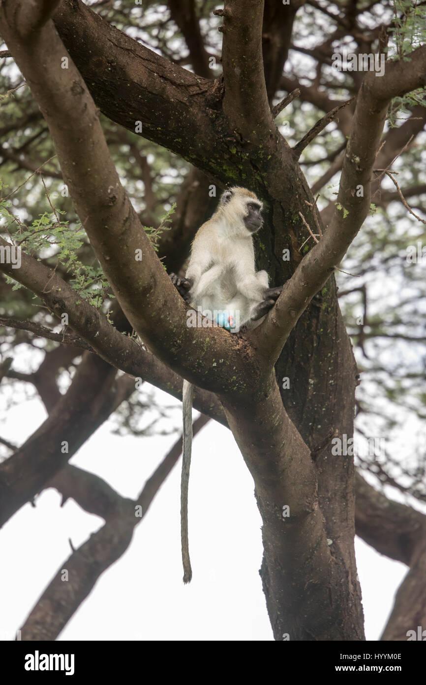 Blue ball monkey sitting in tree in Lake Manyara National Park, Tanzania, Africa. - Stock Image