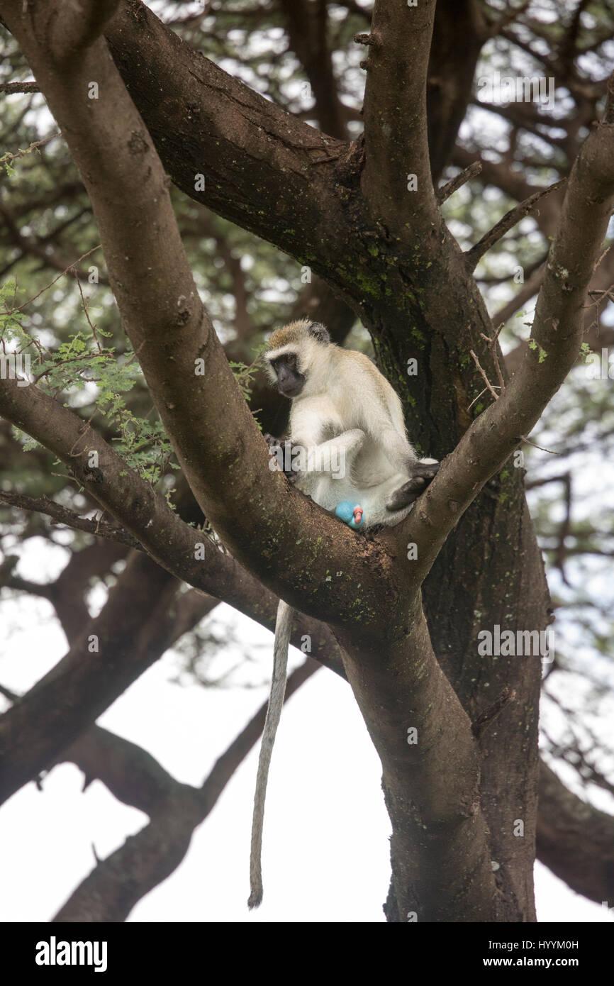 Blue ball monkey sitting in tree in Lake Manyara National Park, Tanzania, Africa. Stock Photo