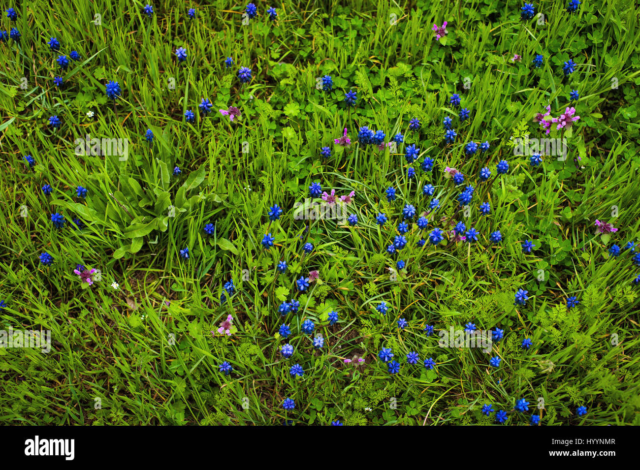 A muscari armeniacum flower or commonly known as grape hyacinth in a defocused spring garden. - Stock Image