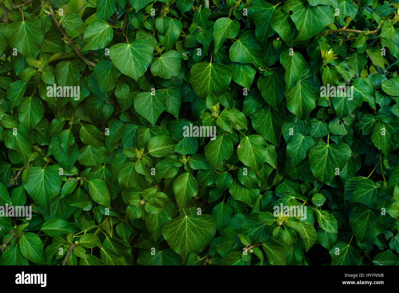 Dark green foliage of a healthy plant with serrated leaves glistening. Low key, horizontal background or banner. - Stock Image