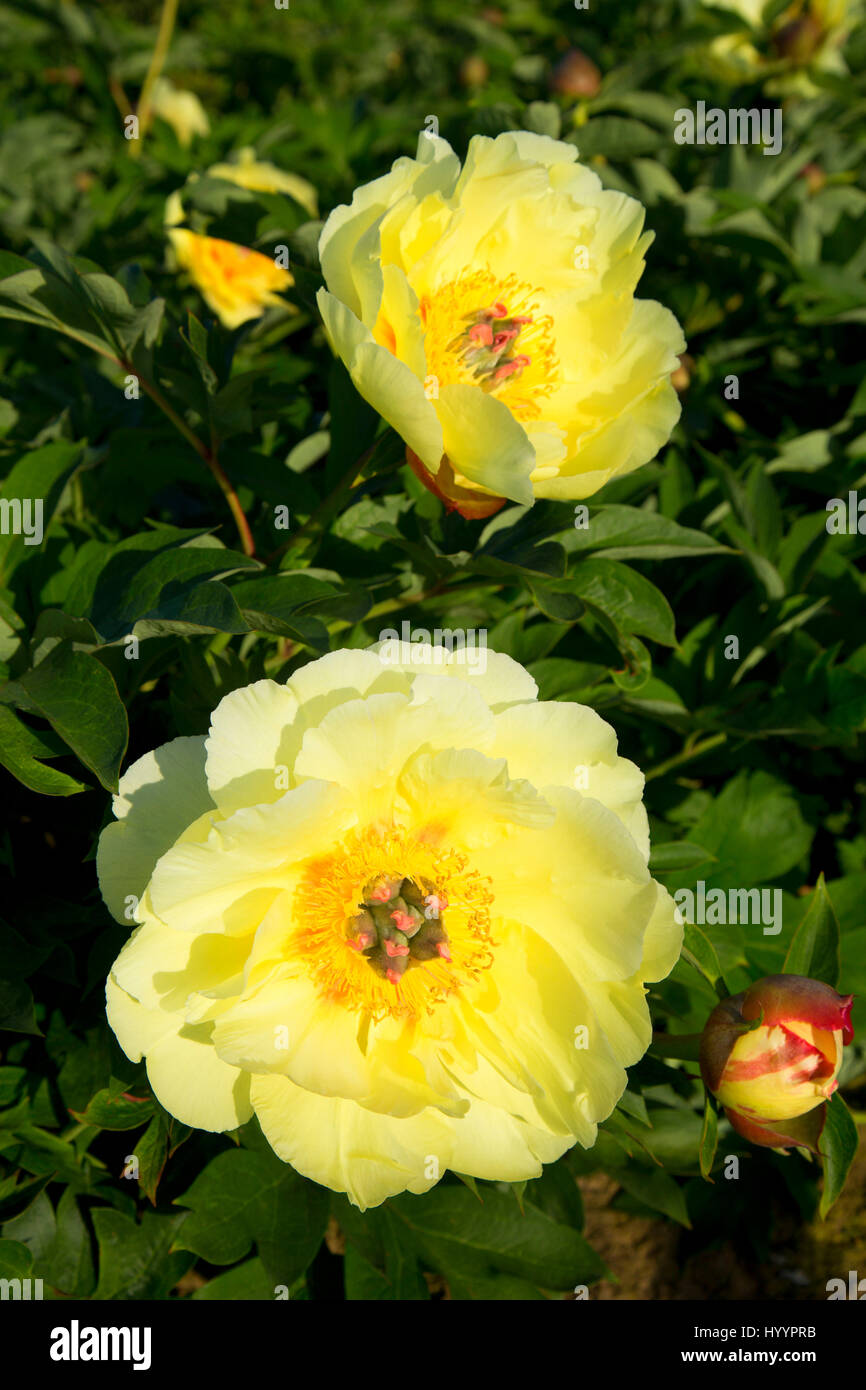 Garden Treasure Peony Adelman Peony Garden Brooks Oregon Stock