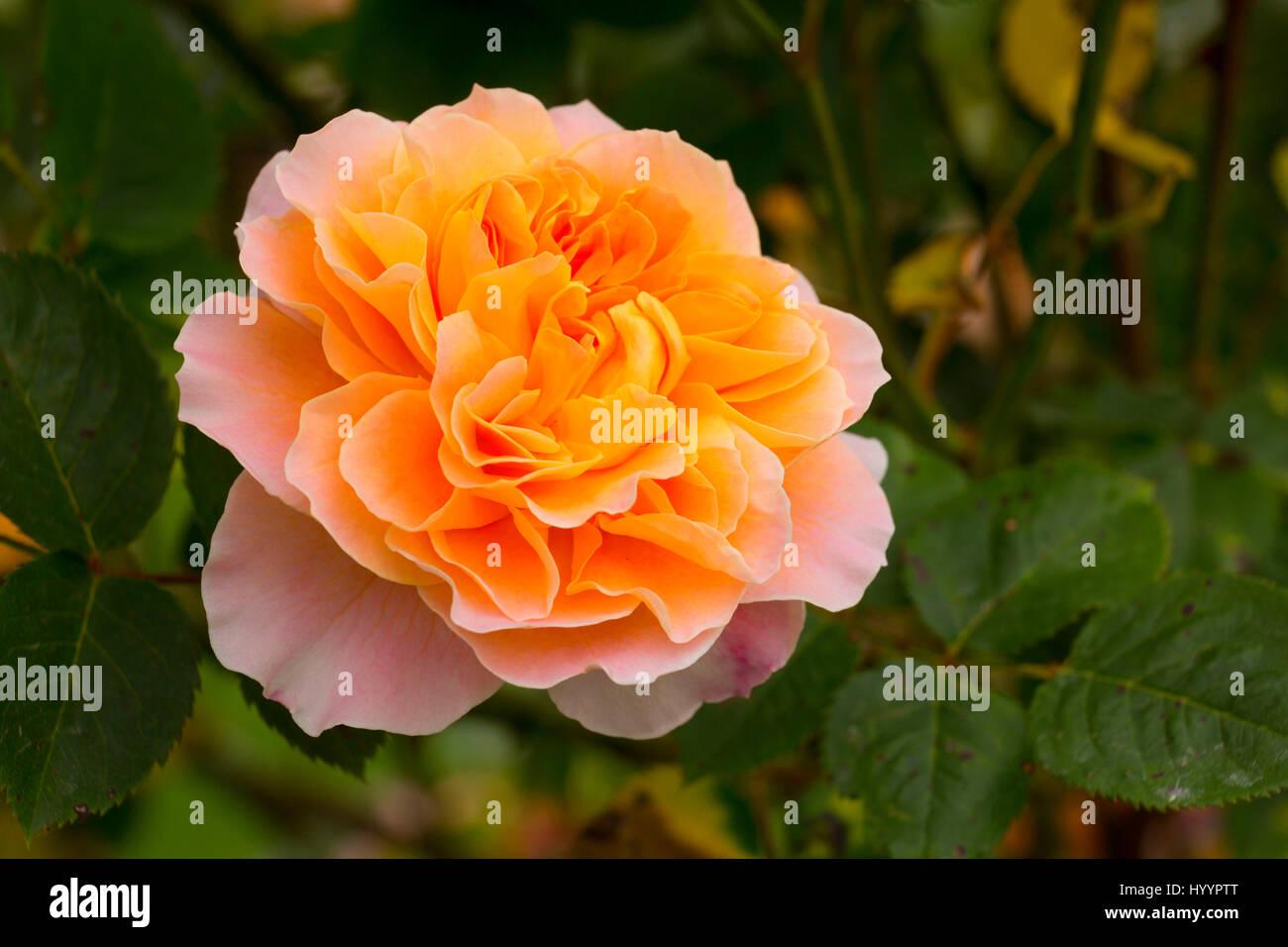 The Impressionist rose, Heirloom Roses, St Paul, Oregon - Stock Image