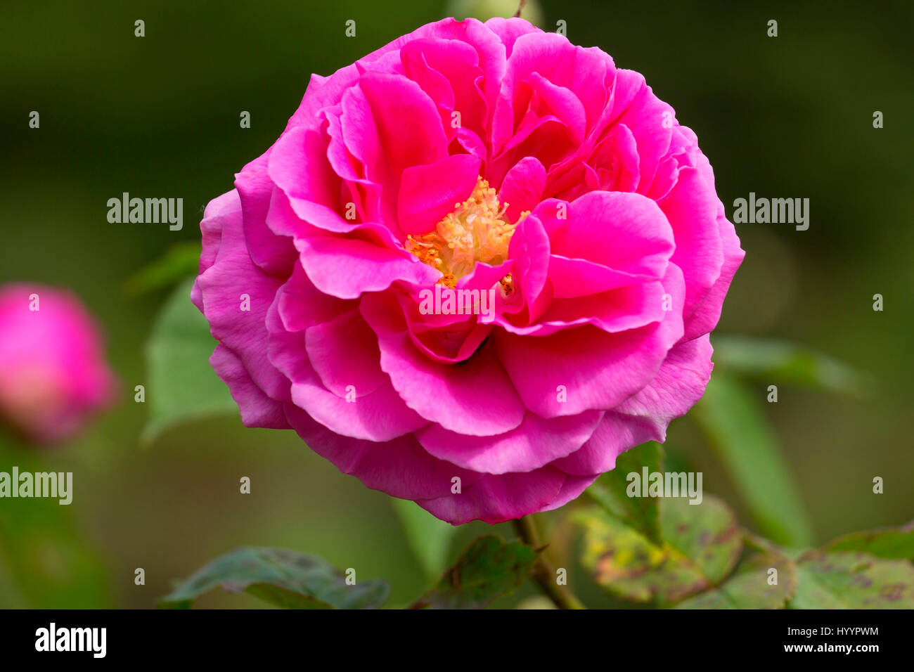 Mme Isaac Pereire rose, Heirloom Roses, St Paul, Oregon - Stock Image