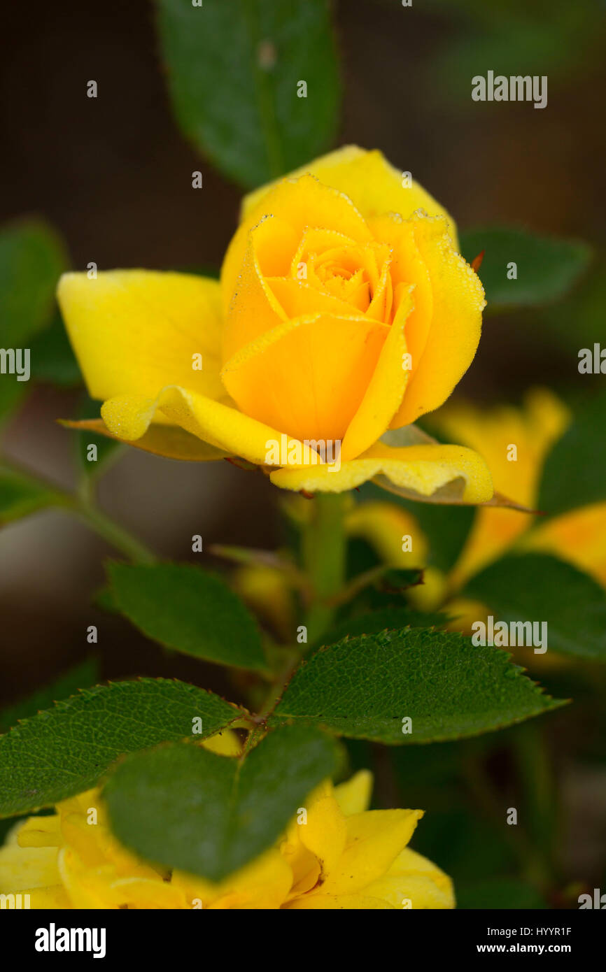 Cal Poly rose, Heirloom Roses, St Paul, Oregon - Stock Image
