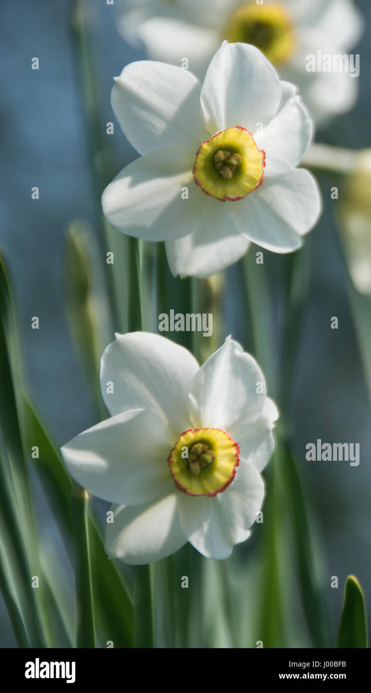 Narcissus Capability Brown was introduced in 2016 by Cornish Nurseryman Ron Scamp for the Capability Brown Tercentenary - Stock Image