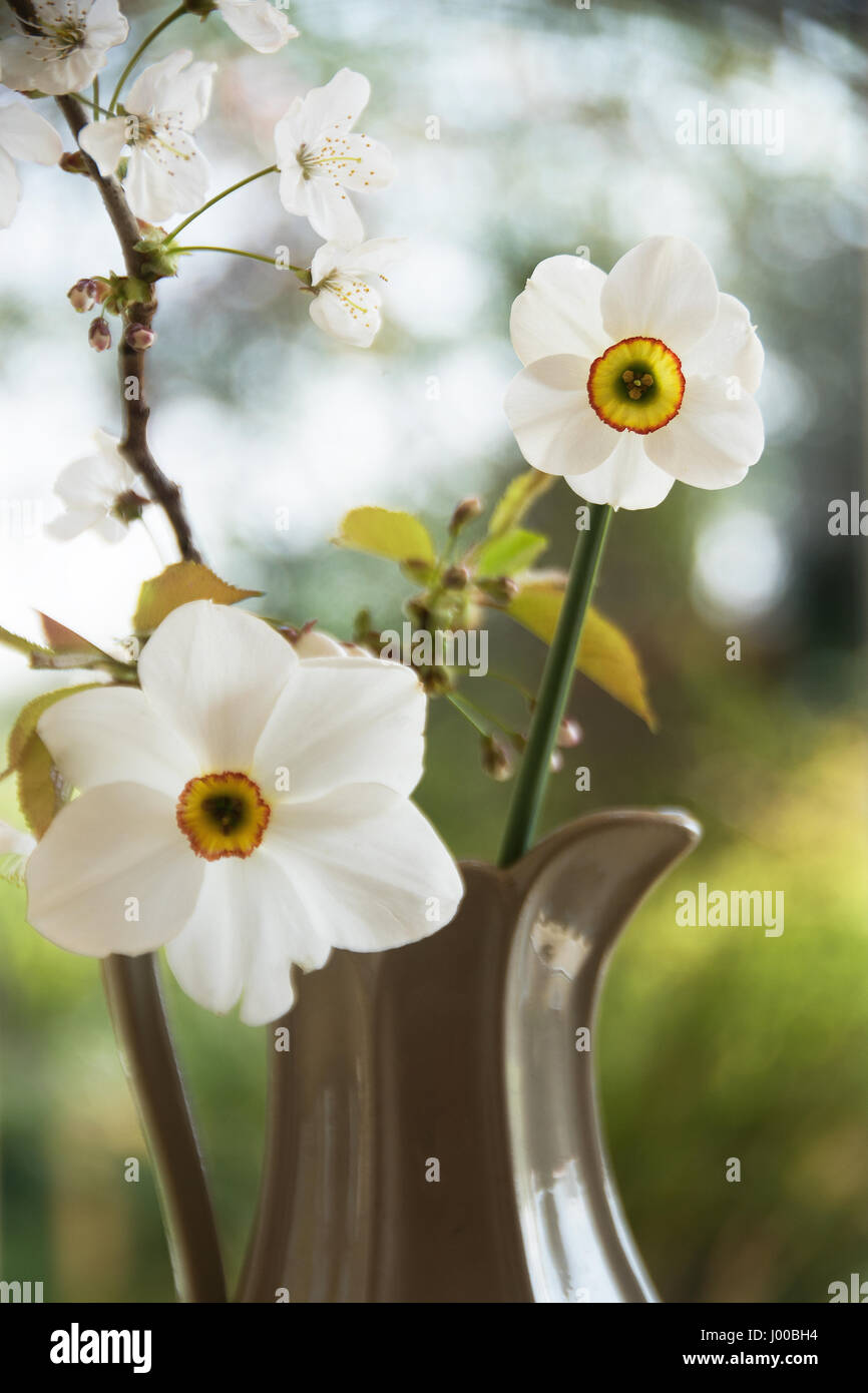 The new Narcissus Capability Brown is smaller compared to the older Narcissus Poeticus but longer-lasting - Stock Image