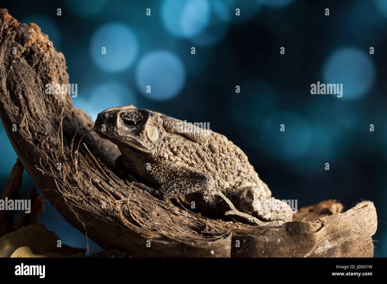 Portrait of a warty asian toad in an old coconut husk - Stock Image