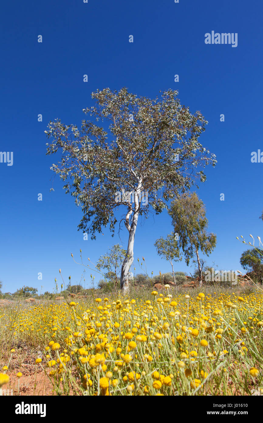 The Central Desert in Bloom, Northern Territory, Australia - Stock Image