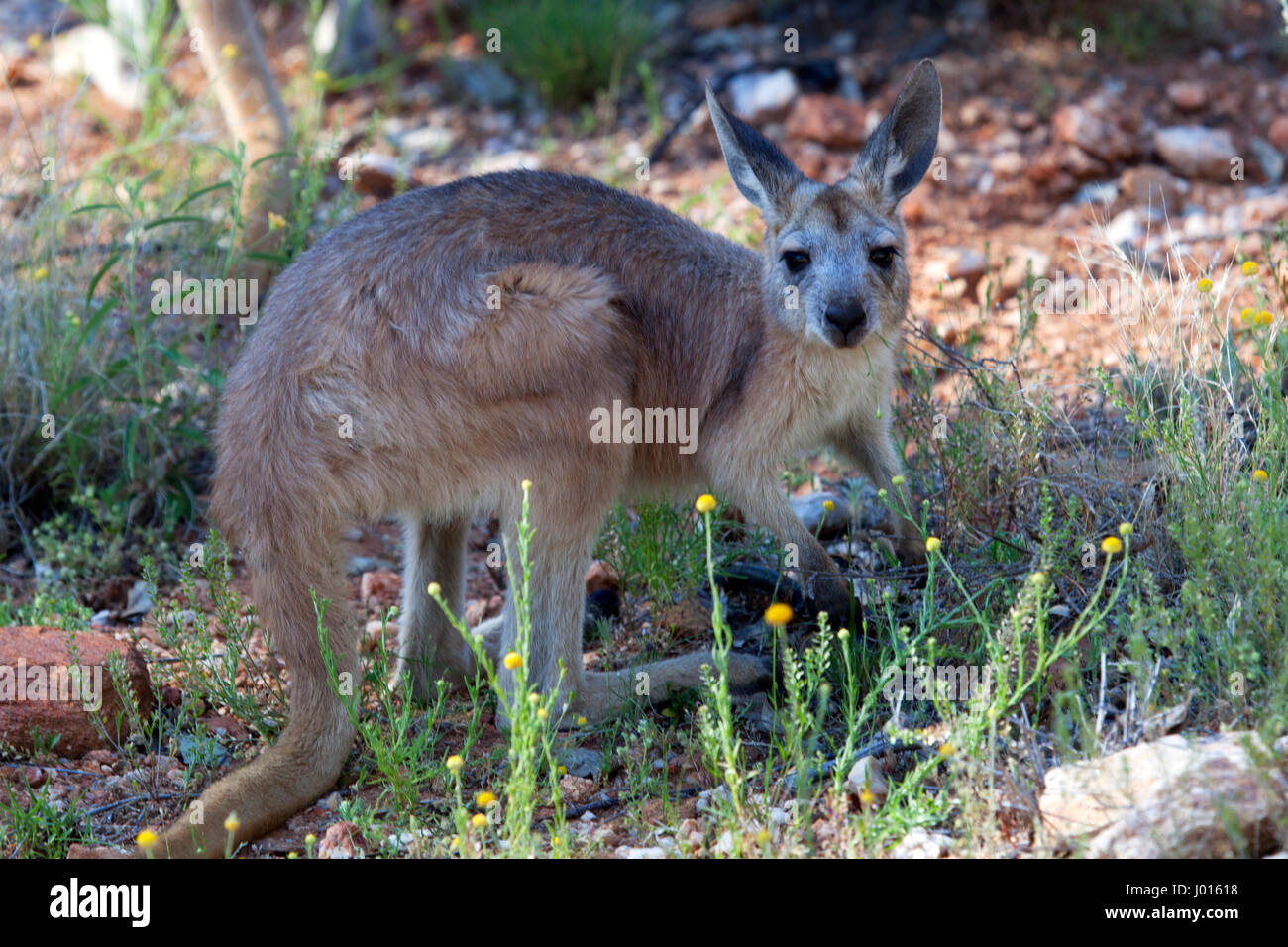 A Young Red Kangaroo (Macropus rufus), in Northern Territory, Australia - Stock Image