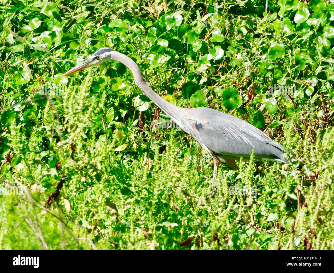 Great Blue Heron (Ardea herodias) poised to strike its prey at Paynes Prairie Preserve State Park, Gainesville, - Stock Image