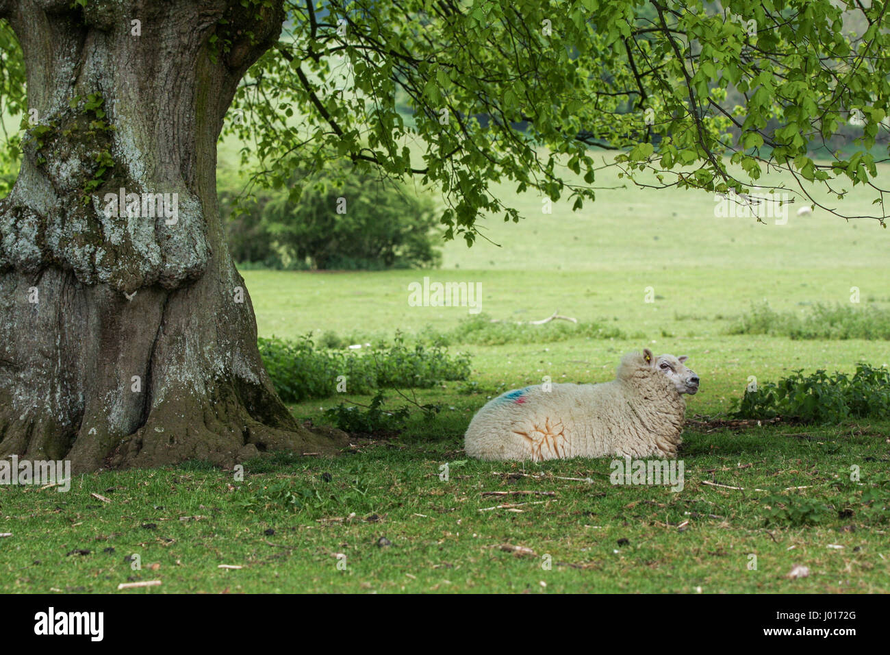 Adult sheep resting under a tree in a field of grass.She is laid down in the shade on the farm. - Stock Image