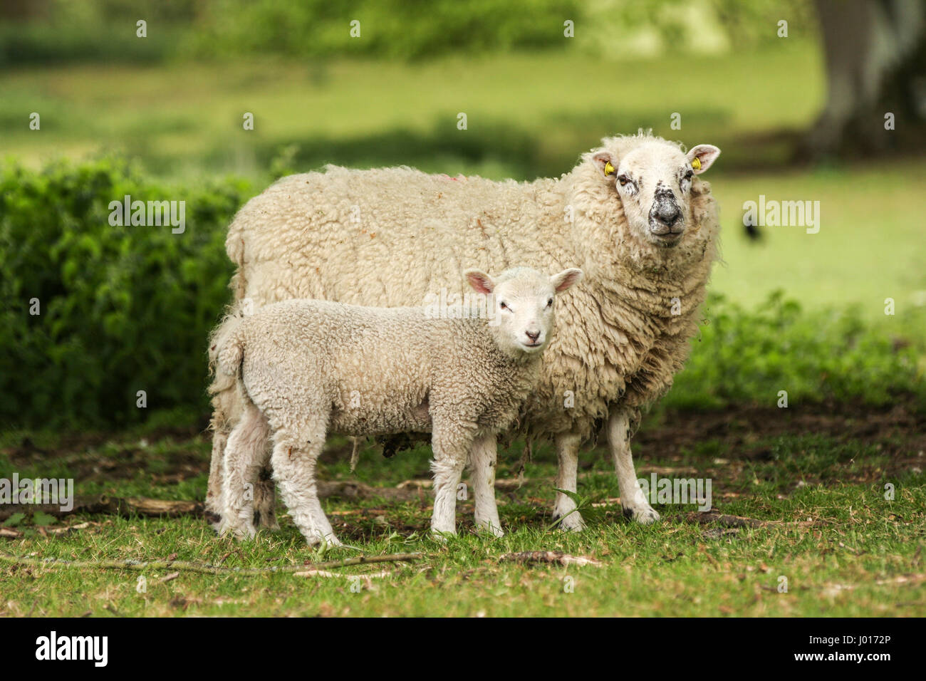 Mother ewe sheep with lamb grazing outside in a grassy field - Stock Image