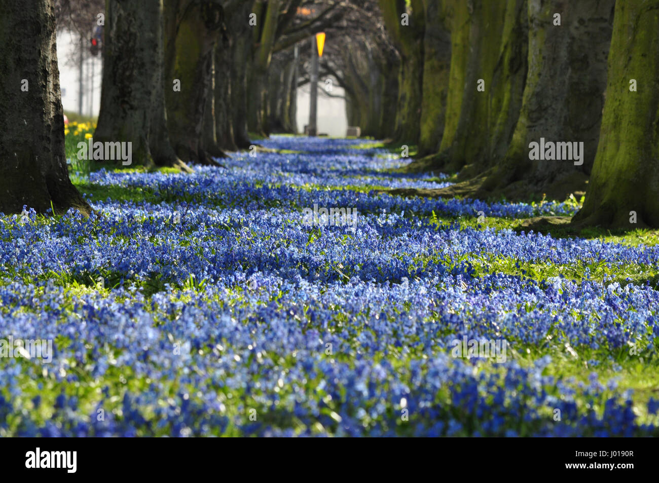 Blue blooming flowers alley with tree tunnel in Gdynia, Poland Stock ...