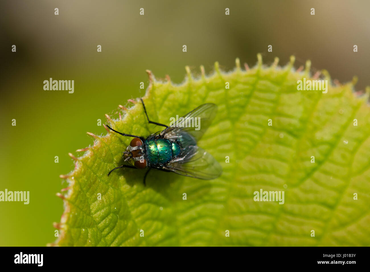Green bluebottle fly with dew water droplets on body hair warming up in the spring sunshine on a leaf of the kiwi - Stock Image