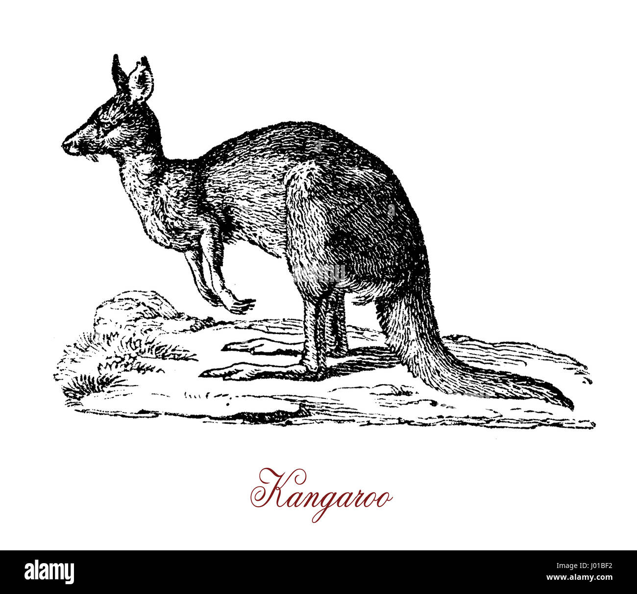 The kangaroo is the largest and most popular marsupial. It has large, powerful hind legs, large feet adapted for - Stock Image