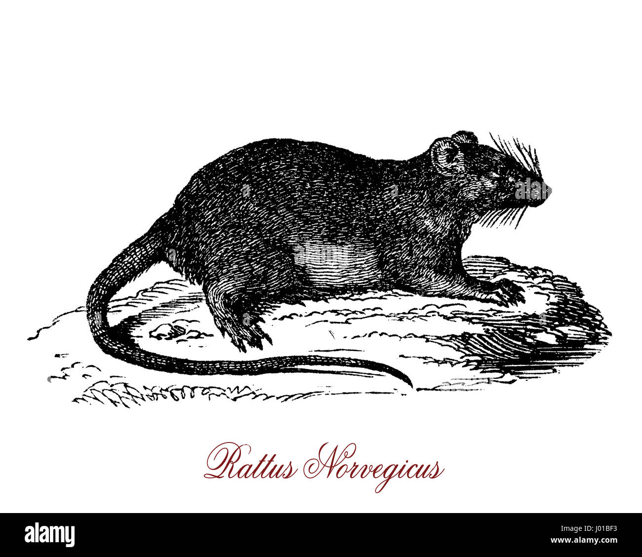 The rattus norvegicus is beste known as common rat, street rat, sewer rat, or just rat. One of the largest muroids, - Stock Image
