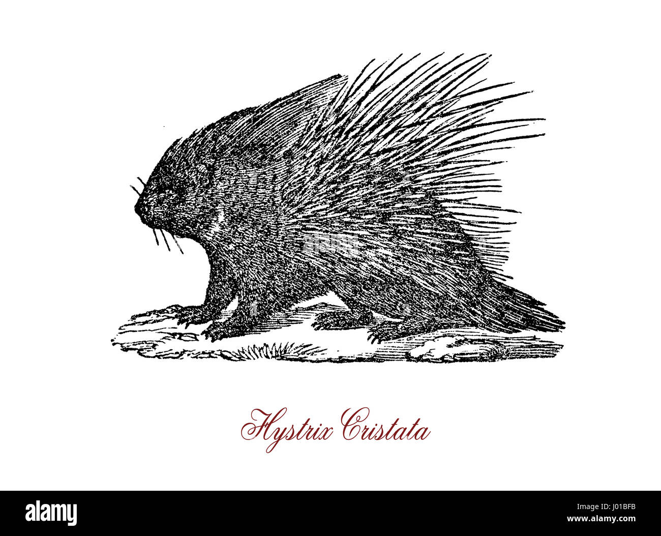 The crested porcupine (Hystrix cristata) is a species of rodent in the family Hystricidae found in Italy, North - Stock Image