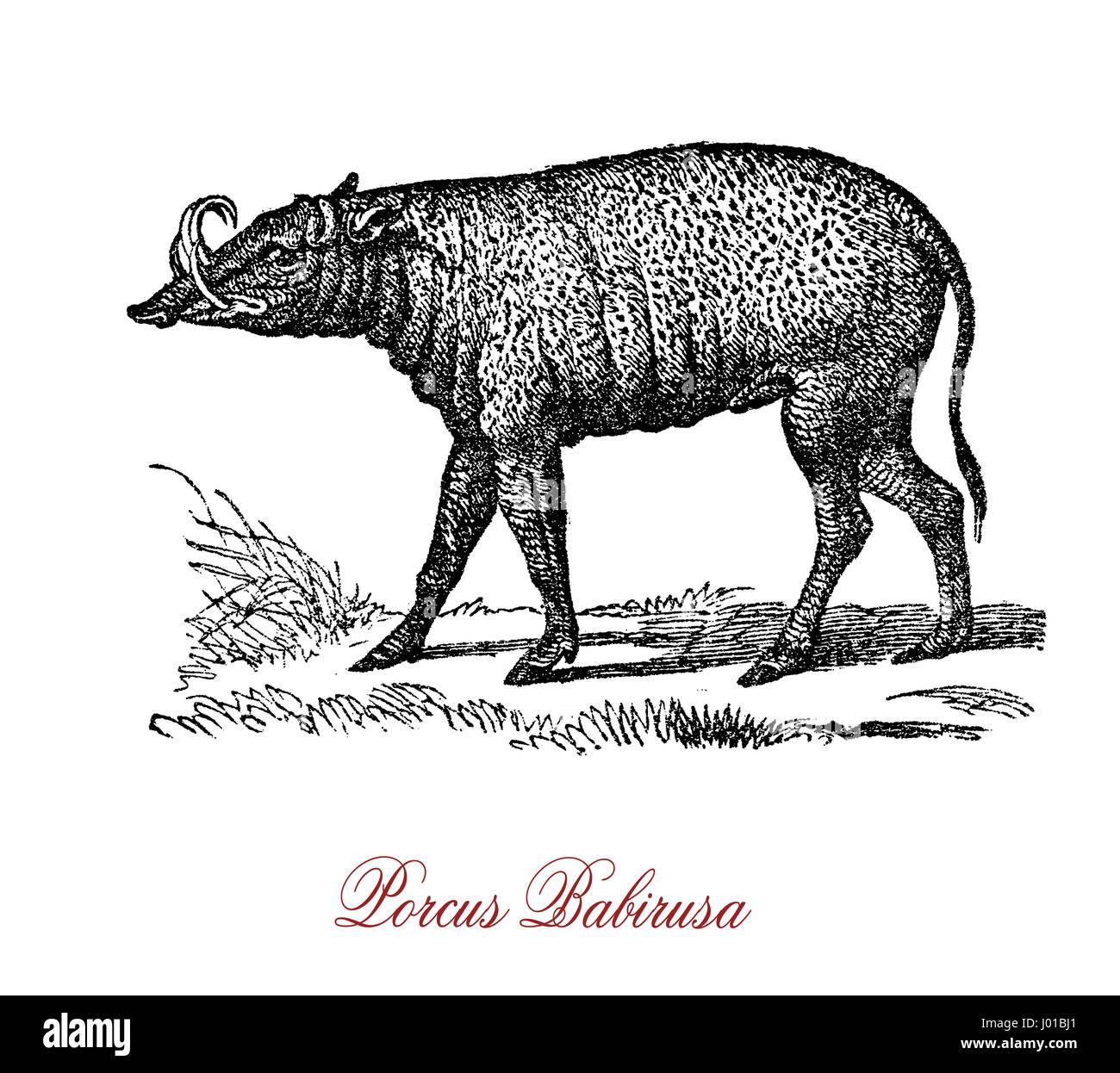 The porcus babirusa (Babyrousa babyrussa) is a wild pig-like animal native to the island of Buru and the two Sula - Stock Image