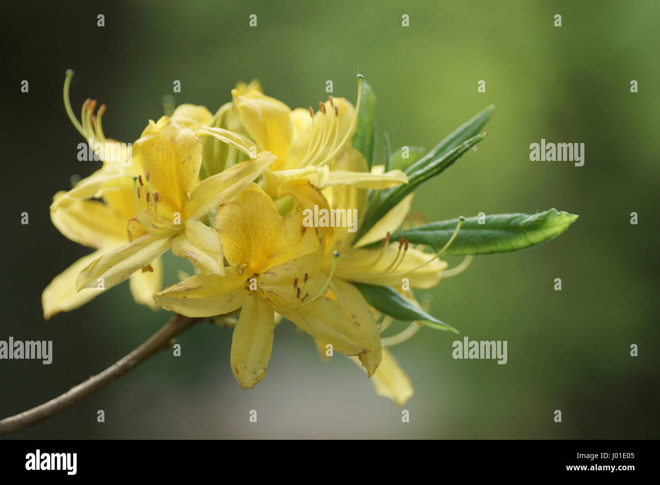 Rhododendron luteum Stock Photo