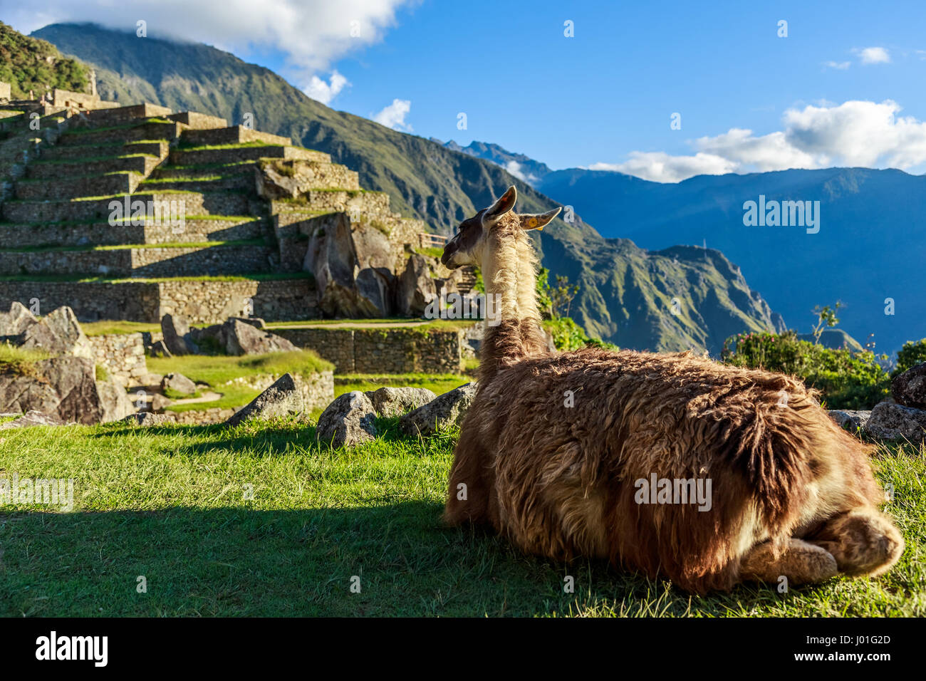 Lama sitting on the grass and looking at terrace of Machu Picchu - Stock Image