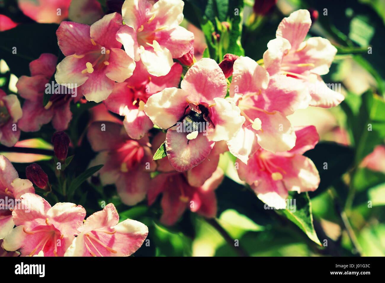 Blooming pink flower Weigela. Bee pollinated flower. - Stock Image