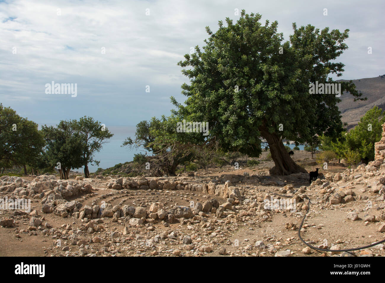 A few Holy Oaks are still growing in the area of the fishing village Loutra at Crete's south coast   Einzelne - Stock Image