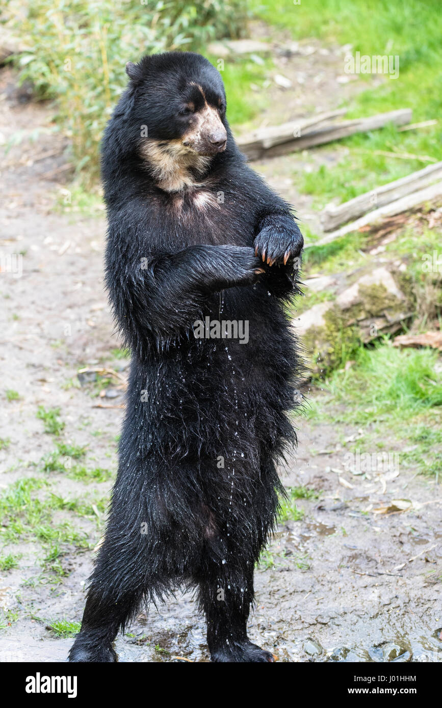 European black bear standing on its hind legs Stock Photo