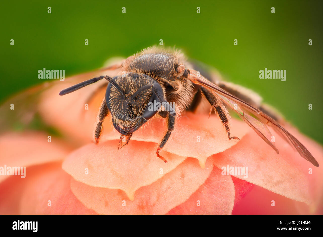 Extreme magnification - Bee pollinating flower - Stock Image