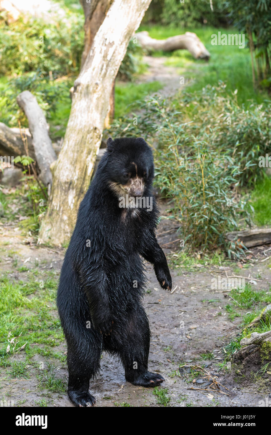 European black bear standing on its hind legs Stock Photo
