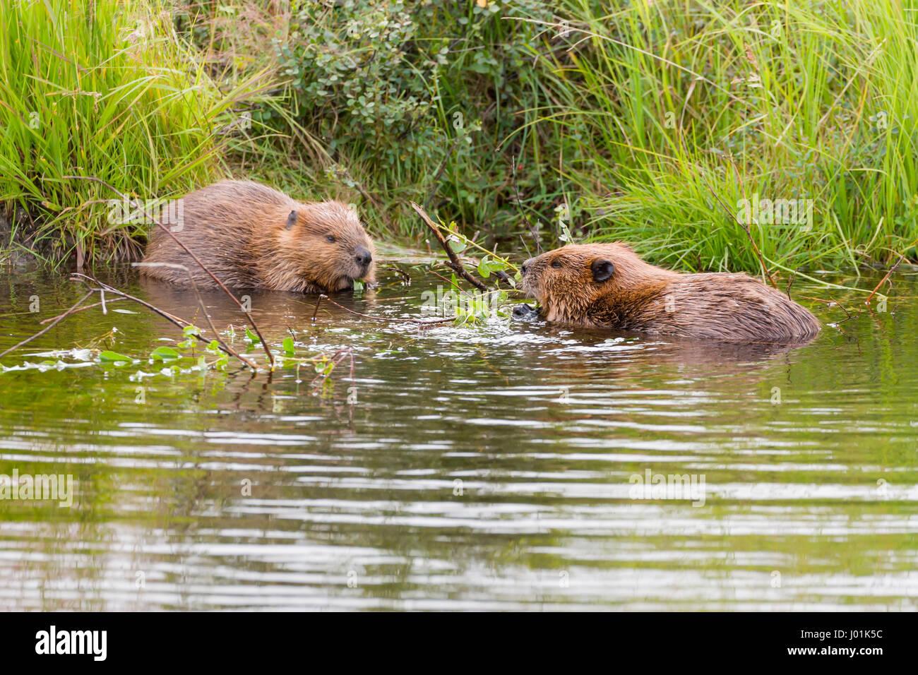 American Beaver (Castor canadensis) two beavers interacting, Wonder Lake, Denali NP, AK, USA Stock Photo