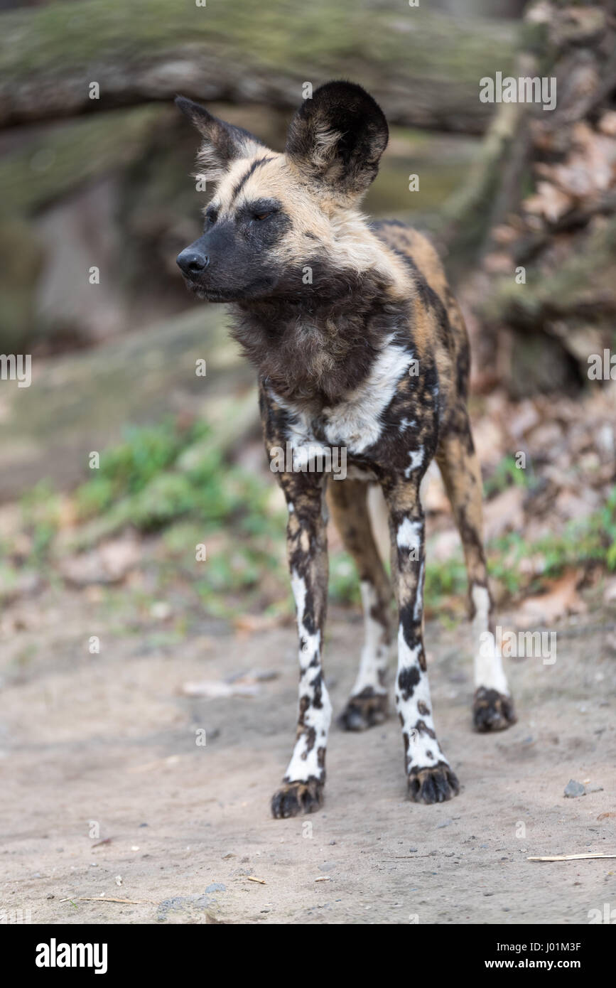 African wild dog scanning its surroudnings Stock Photo