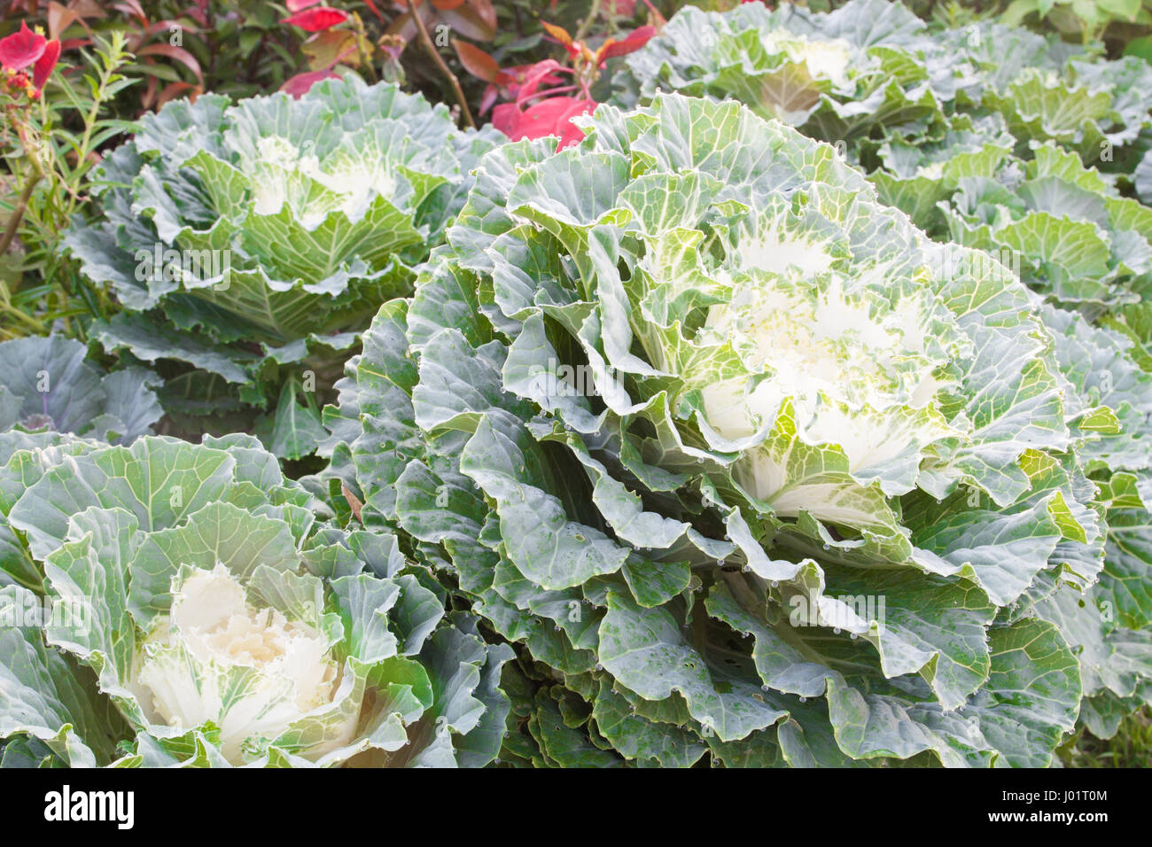 a white cabbage of a variety immature flower head of large creamy white flower buds in garden - Stock Image