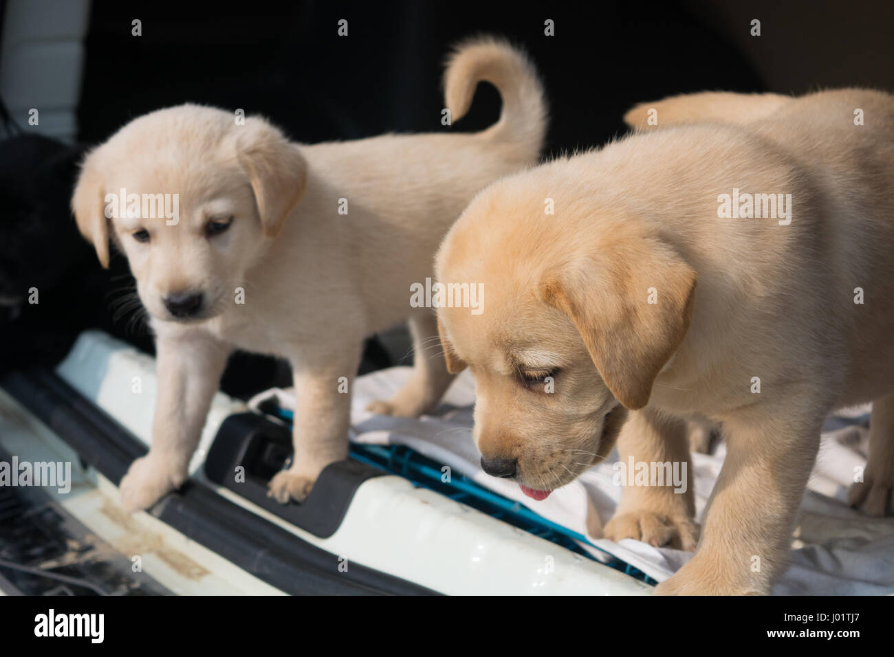 Cute Baby Labrador High Resolution Stock Photography And Images Alamy