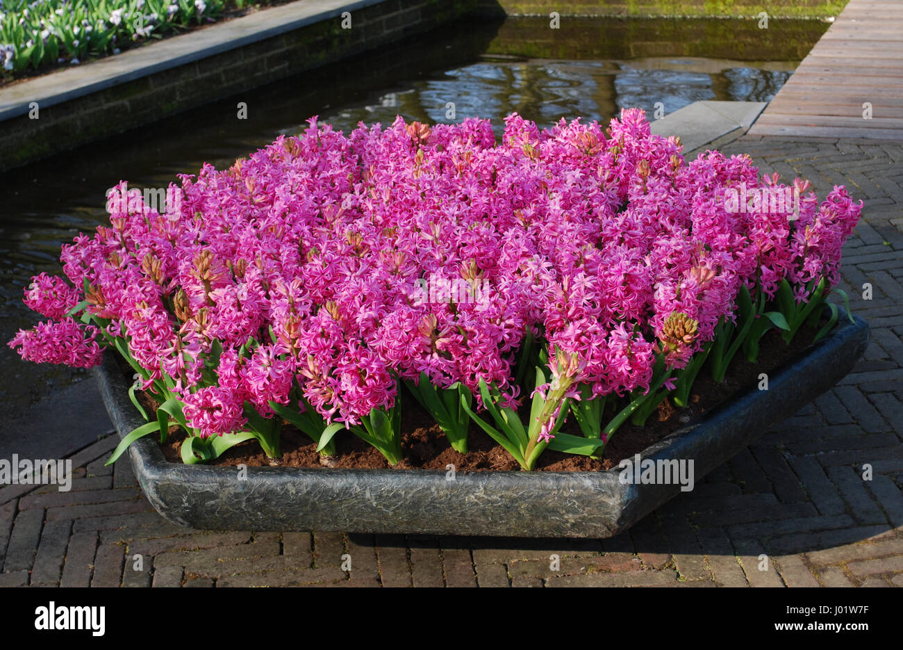 Pink Hyacinth Hyacinthus Plants Growth In Stone Flowerpot Stock