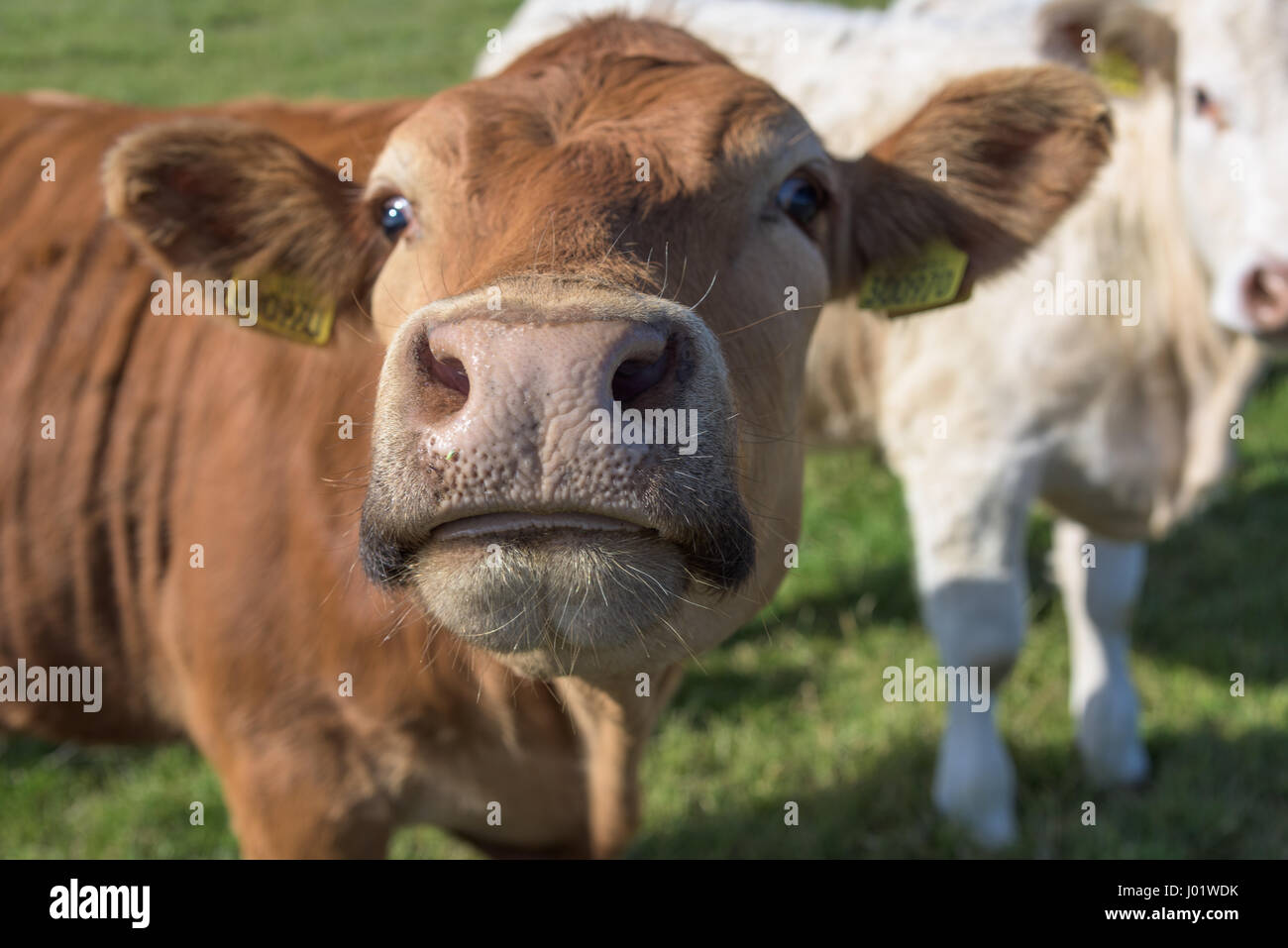 Funny cow image - Stock Image
