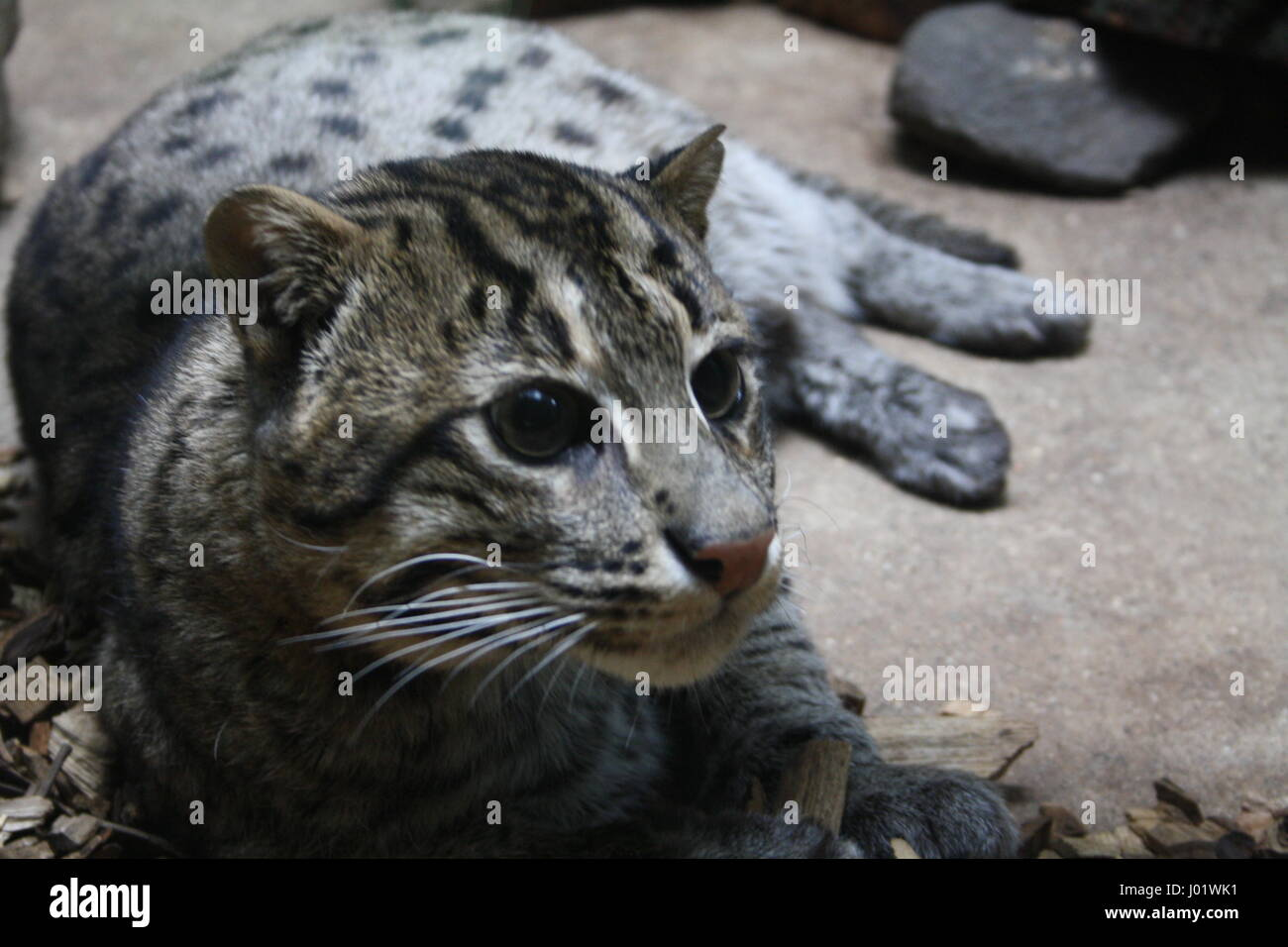 Fishing cat (Prionailurus viverrinus), Prague zoo - Stock Image