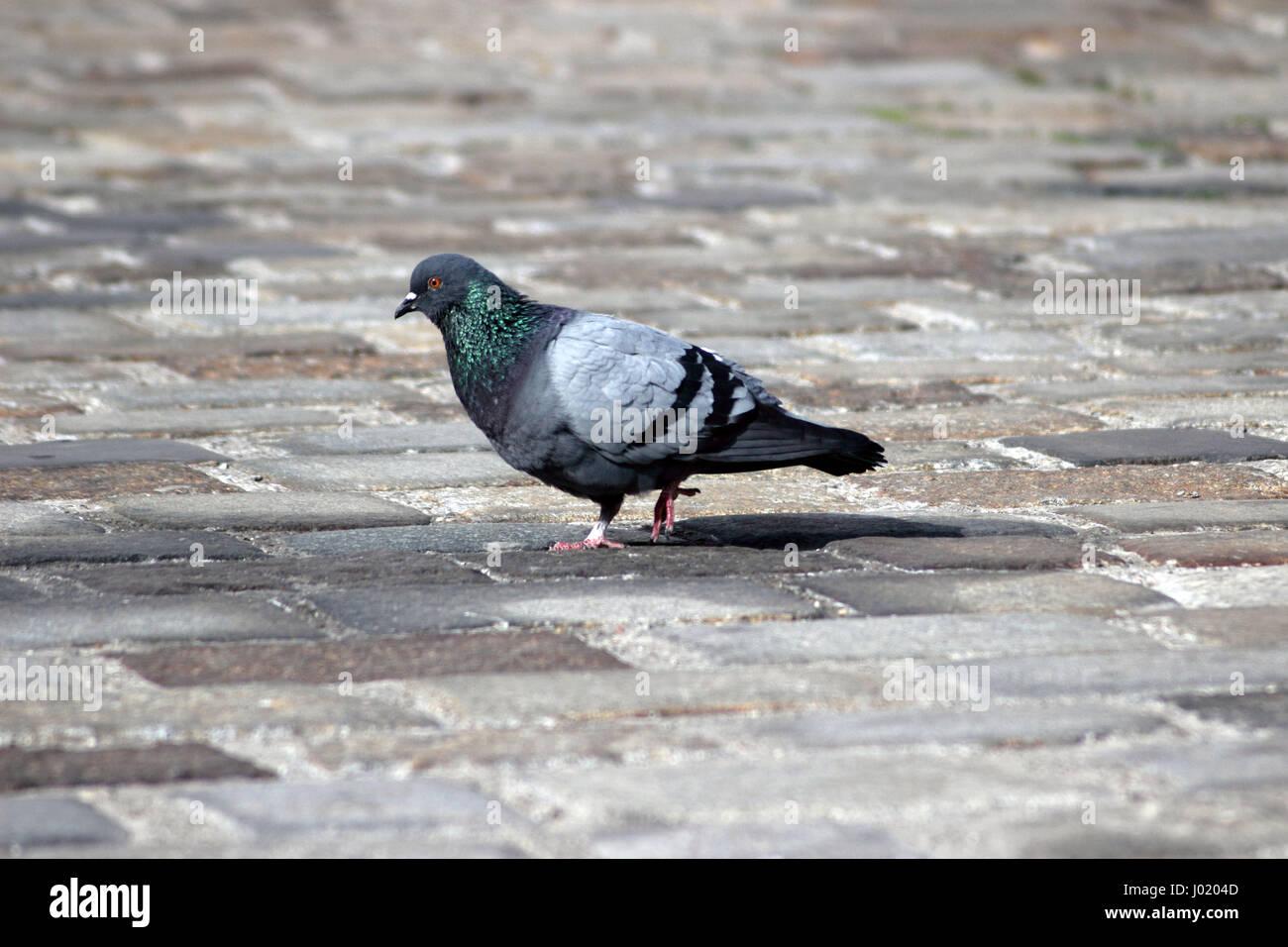 Pigeon walking - Stock Image