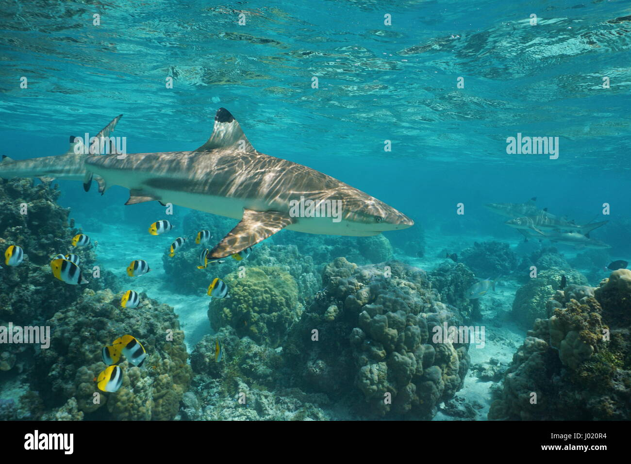 Blacktip reef shark underwater ocean with tropical fish butterflyfish and corals in a lagoon of a south Pacific - Stock Image
