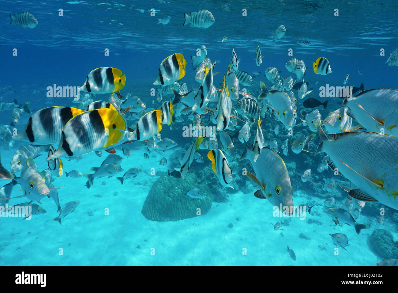 Shoal of fish (butterflyfish with snapper and damselfish) underwater in the lagoon of Rangiroa, French Polynesia, - Stock Image