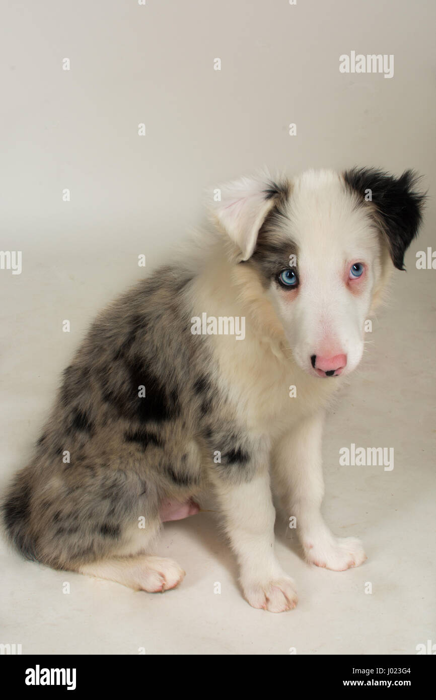 Beautiful Blue Merle Puppy In The Studio - Stock Image