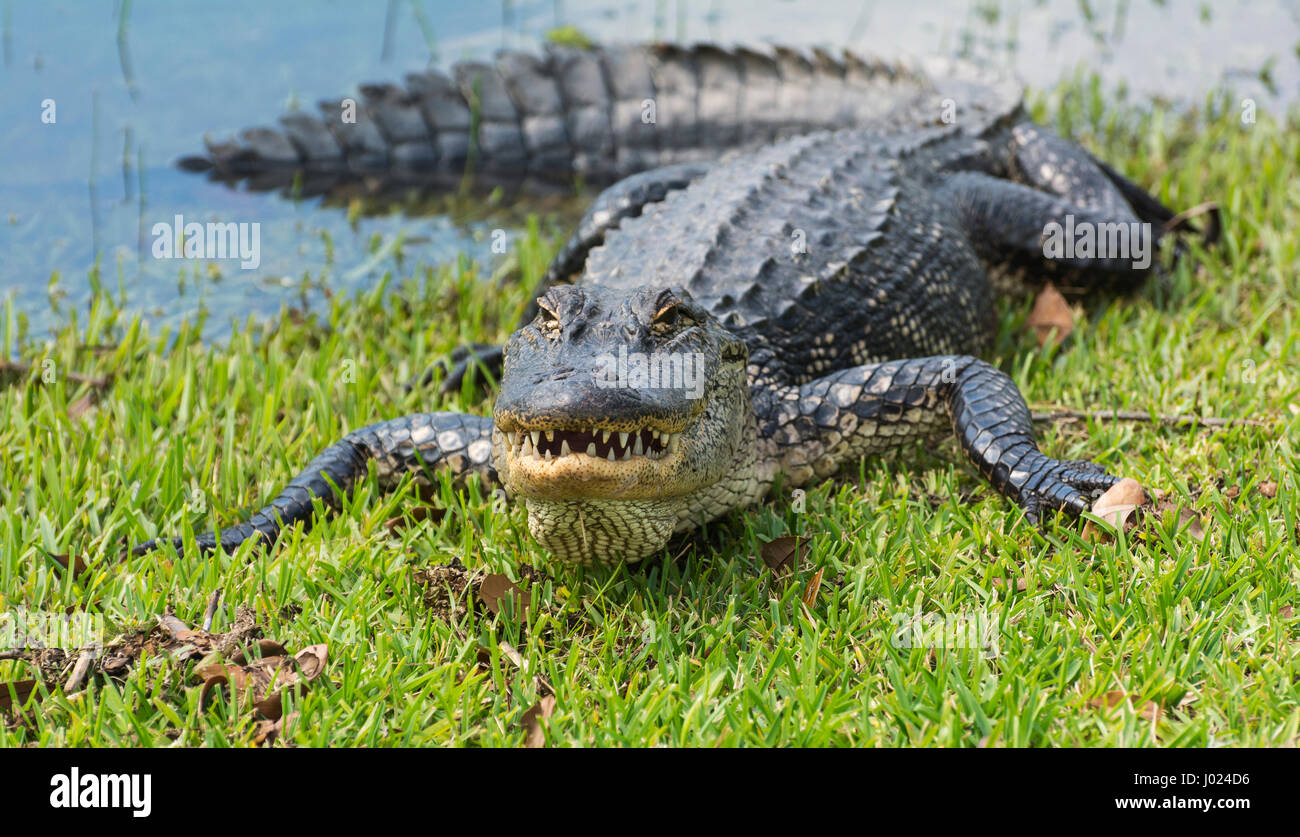 Louisiana, Avery Island, Jungle Gardens, American Alligator (Alligator mississippiensis) - Stock Image