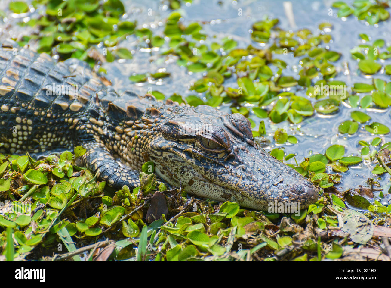Louisiana, Avery Island, Jungle Gardens,  juvenile American Alligator (Alligator mississippiensis) - Stock Image