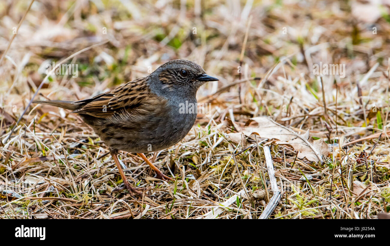The dunnock (Prunella modularis) is a small passerine bird here searching for food in the early spring grass. - Stock Image