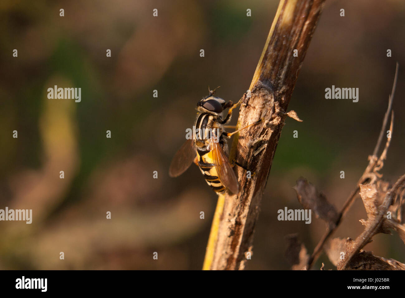Beautiful up close shot of the bee on the brown branch. Picture was taken during the sun down in the botanical garden. - Stock Image