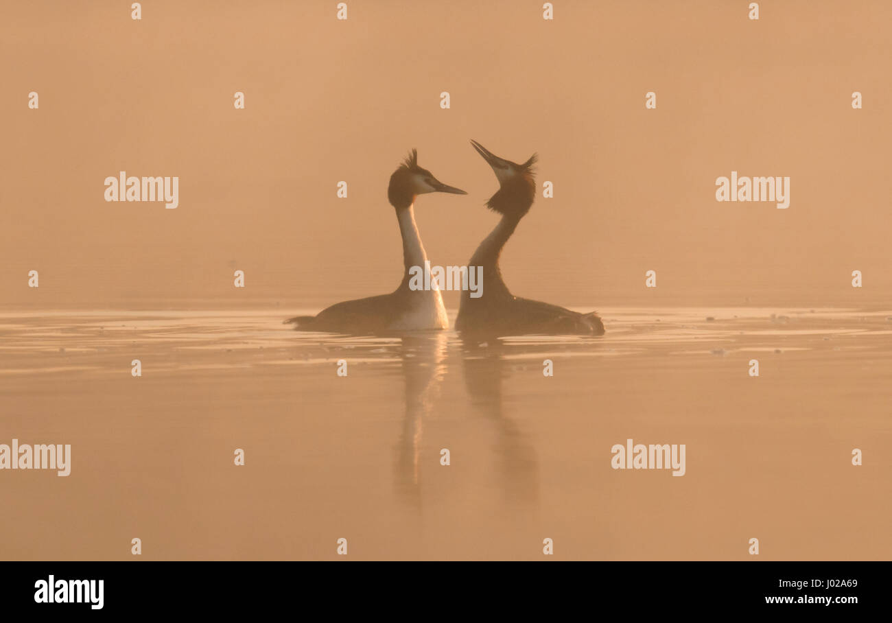 A pair of Great Crested Grebes (Podiceps cristatus) begin their courtship display in the dawn mist, Warwickshire - Stock Image