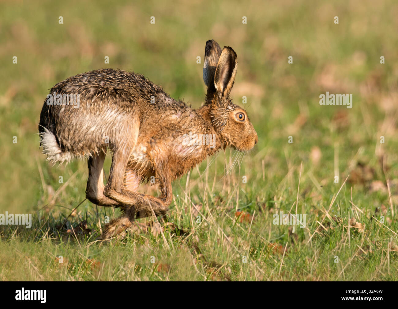 Brown Hare (Lepus europaeus) running across Warwickshire farmland on a early spring morning - Stock Image