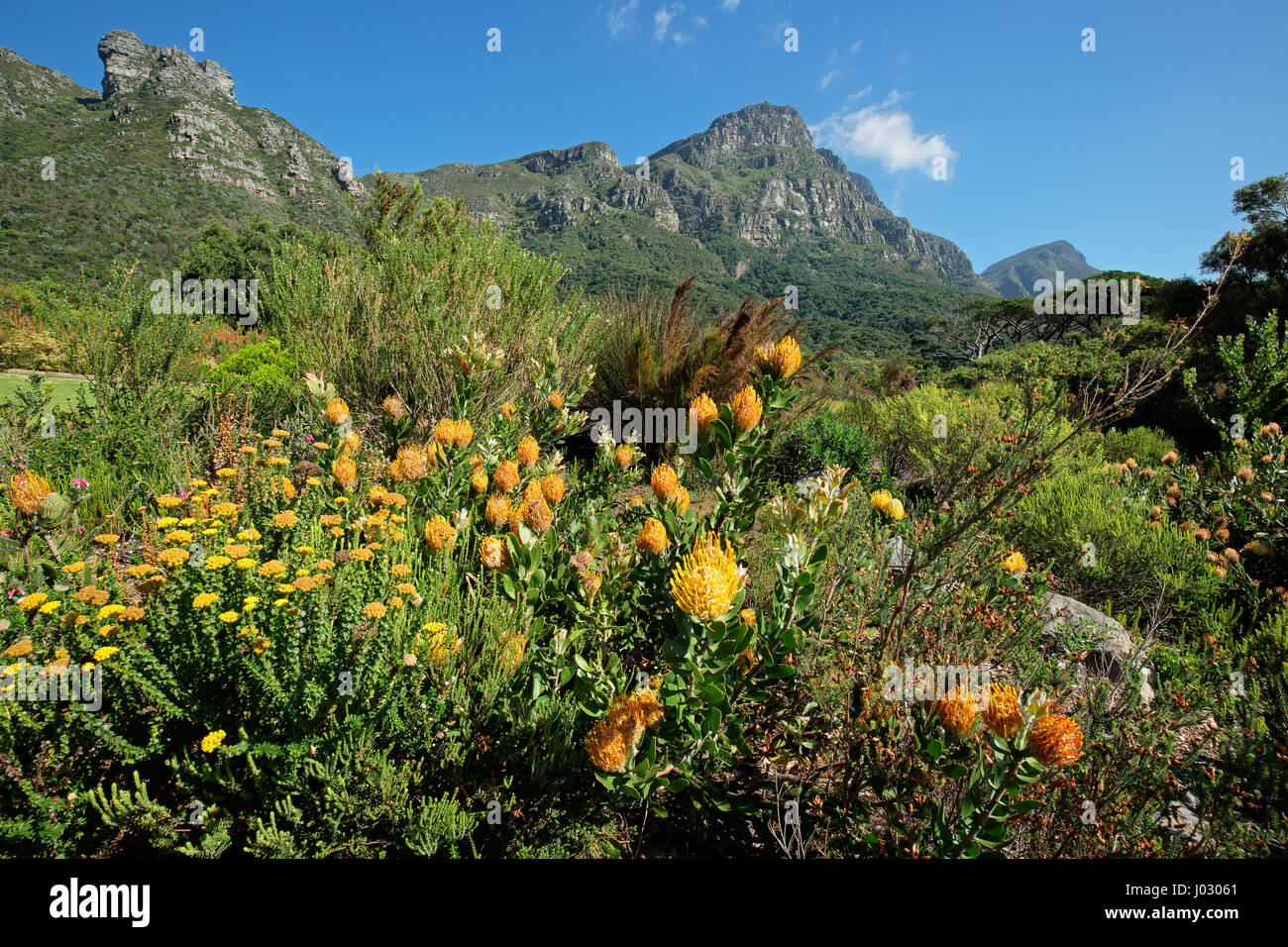 Kirstenbosch botanical gardens against the backdrop of Table mountain, Cape Town, South Africa - Stock Image