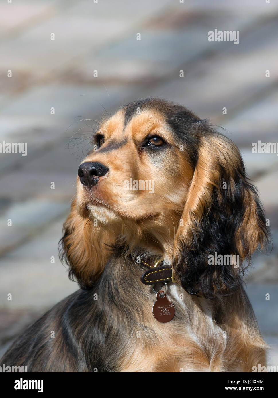 Sable coloured female English Show Cocker Spaniel puppy, aged four months. - Stock Image