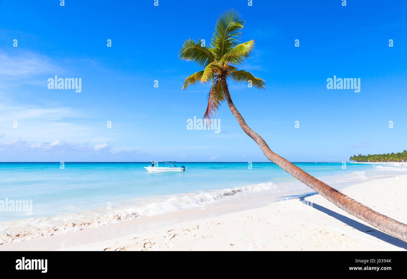 Coconut palm grows on white sandy beach of Saona island. Caribbean Sea coast, Dominican republic nature - Stock Image